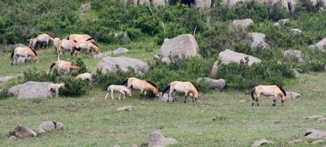 Wil Takhi horses, Khustain National Park, Töv, Mongolia